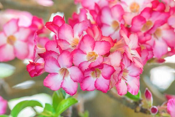 flores da primavera azalea