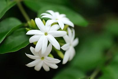 flores da primavera jasmin