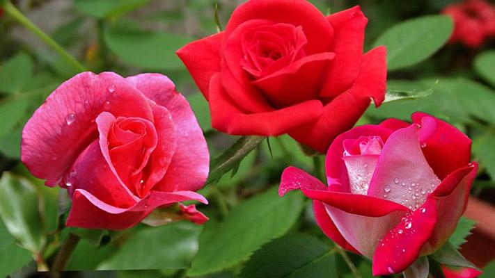 flores da primavera rosa