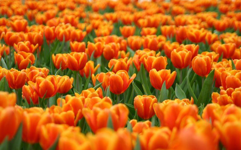 Conheça as flores mais belas da primavera