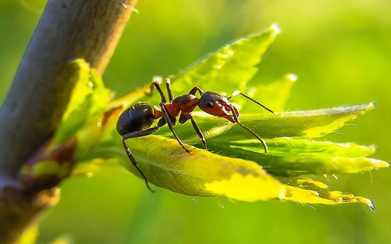 Saiba como eliminar as formigas da sua horta