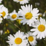 flores para outono
