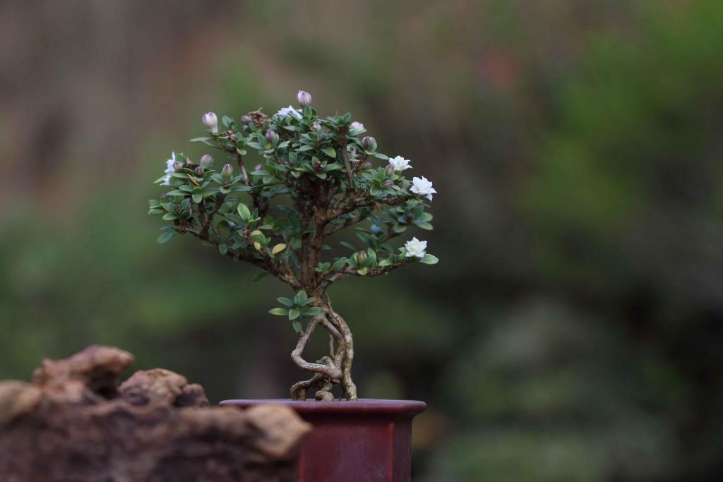 Como ter um bonsai saud vel blog flora morumby - Cultivo de bonsai ...
